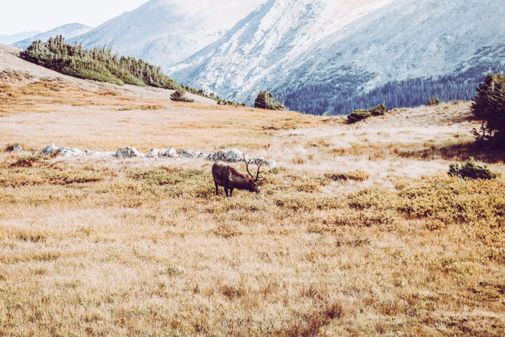 a large bull elk in a meadow in colorado